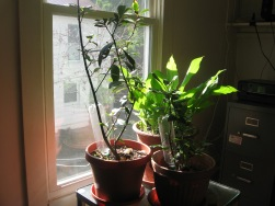 Laurus nobilis/sweet bay and turmeric